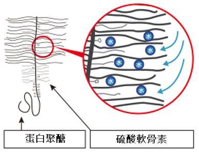 軟骨素 葡萄糖胺 UC2 軟骨成分